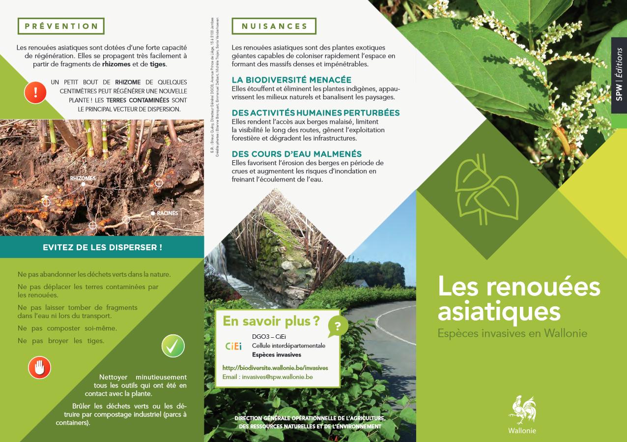 Les renouées asiatiques : Espèces invasives en Wallonie